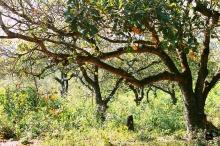 Anacardiaceae - Vườn đào lộn hột (1)
